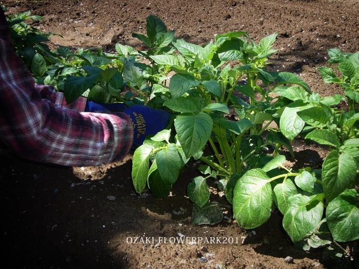 bbジャガイモの芽かき・大きな茎を3~5本残してとる