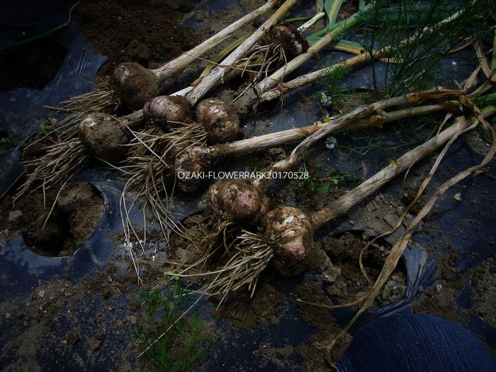 b ニンニクの収穫 地上部が枯れたら収穫時期 ひとかけのニンニクからひと玉のニンニクに。