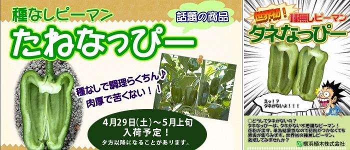 たねなっぴー_blog用