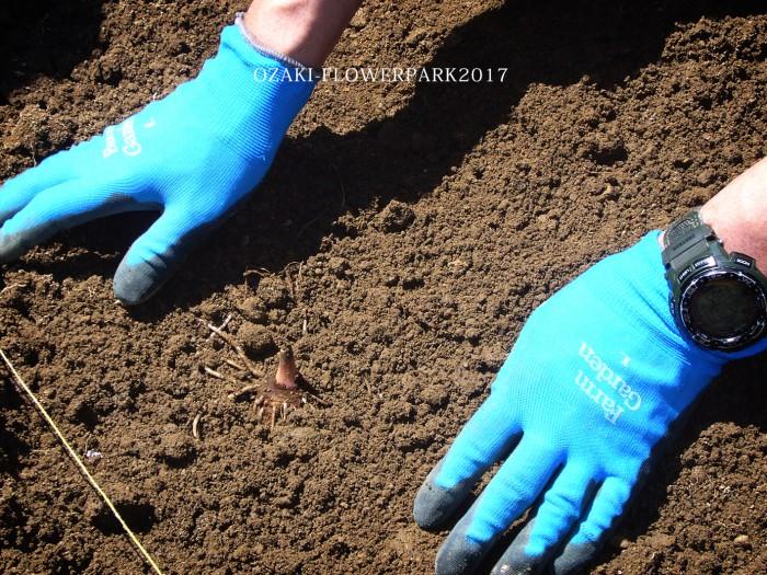 bb里芋の植え付け・浅植えして目出ししておいた種イモを植え付け