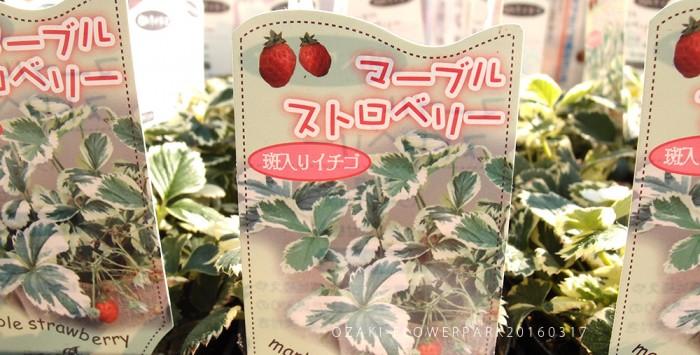 004_20160317イチゴ斑入り