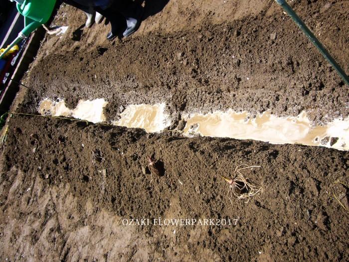 bb里芋の植え付け・畝の真ん中の渠を切り、たっぷり液肥を浸み込ませる