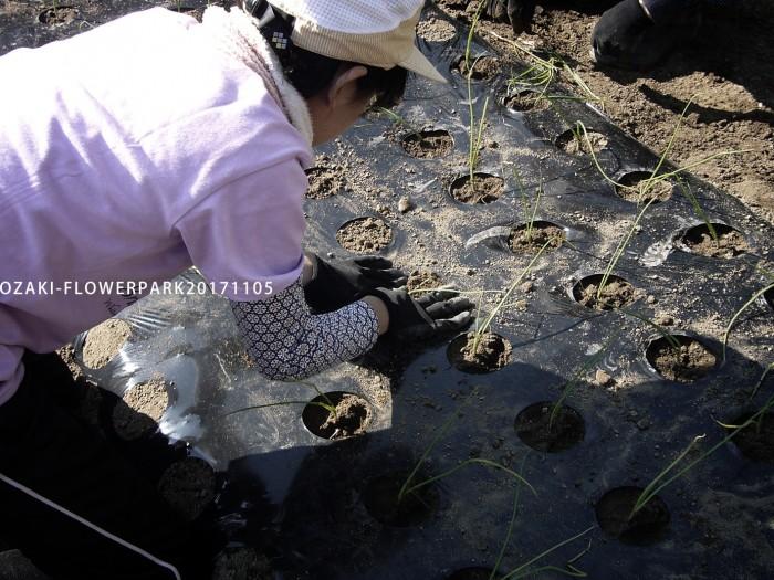 タマネギ植え付け(15㎝間隔に1本ずつ、白い部分が埋まる程度の深さ)
