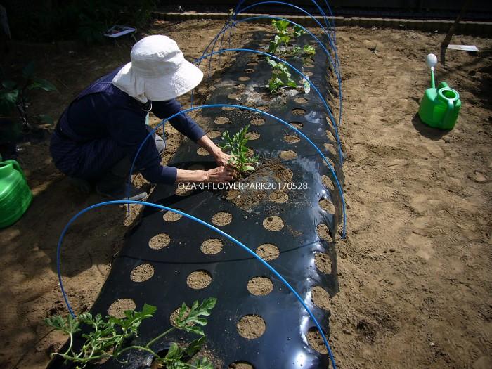 b スイカ、メロンの植え付け 約1メートル間隔に。