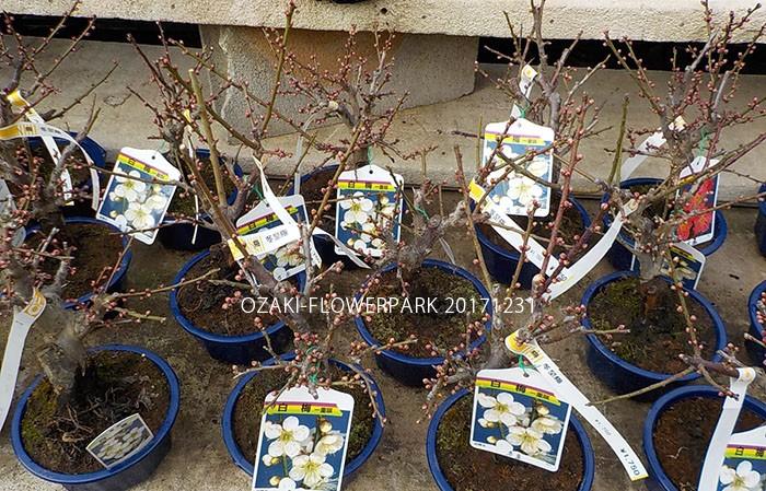 040梅盆栽