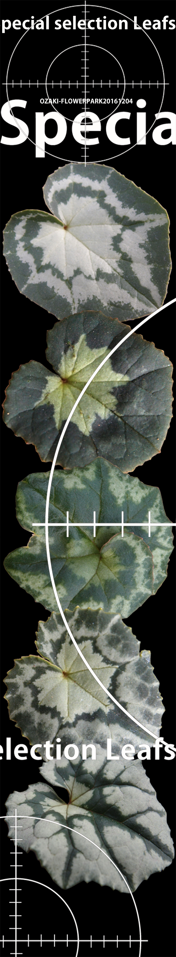 原種シクラメンの葉