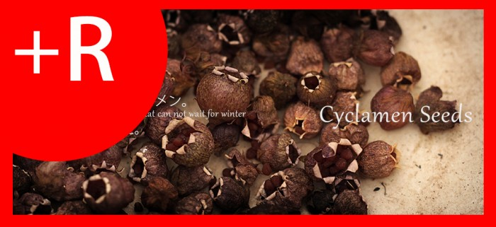 Cyclamen seeds_bb