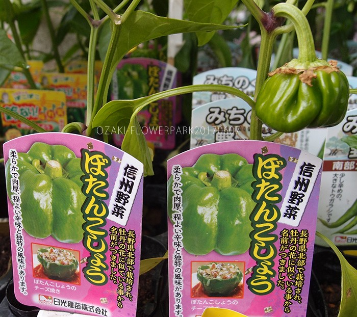 野菜013_ぼたんこしょうP6077660