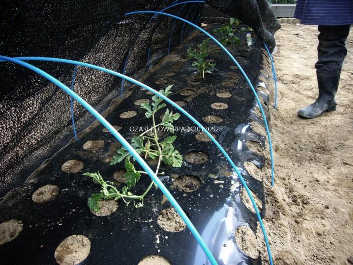 b スイカ、メロン植え付け 気温が高く、陽射しが強い場合は定着するまで遮光ネットで保護
