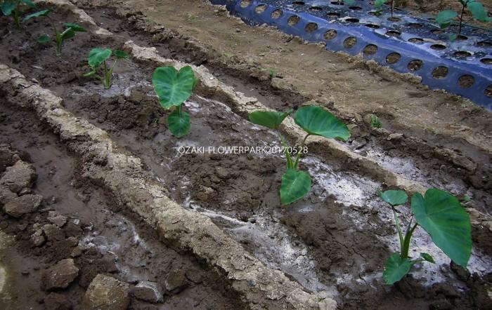 b 里芋 天気が続いた時は周囲に溝を掘り、たっぷりと水やり。水が引いたら土を戻す。