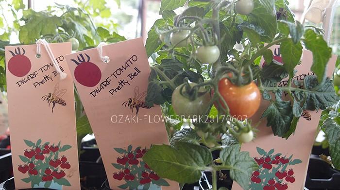 野菜007_ドワーフトマト_プリティーベルP6077742