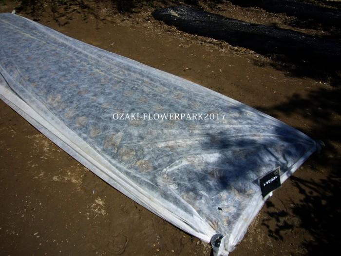 bbトウモロコシの種まき・鳥に食べられないように不織布で保護