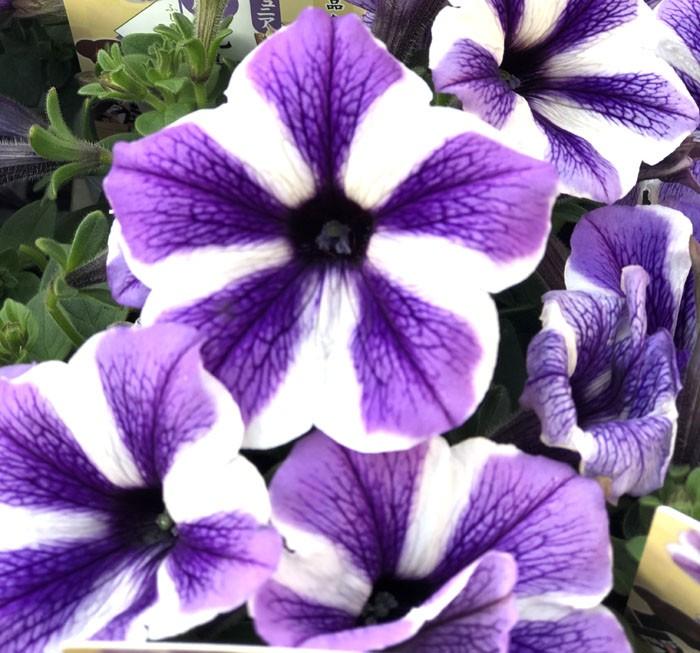 ペチュニア紫のコピー